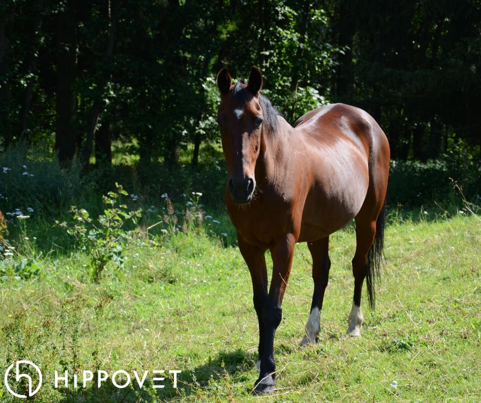 Hippovet