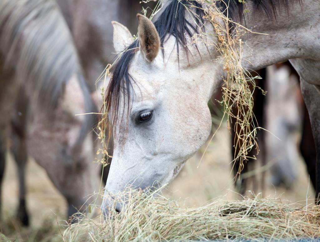 Siano w żywieniu koni